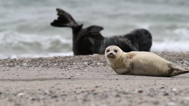 gray seal (halichoerus grypus) on the north sea coast - nord europeo video stock e b–roll