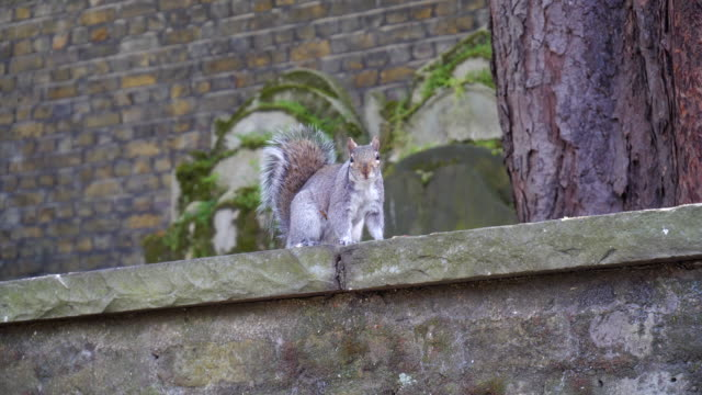 Gray Squirrel On The Stone Wall