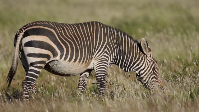 grazing cape mountain zebra - equino video stock e b–roll
