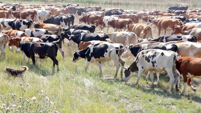 vídeos de stock, filmes e b-roll de gado de leite de vacas pastando - manada