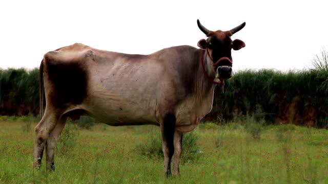 grazing cow - haryana video stock e b–roll