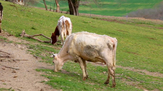 grazing cows. cows while eating. cows grazing on the meadow. - giovenca video stock e b–roll