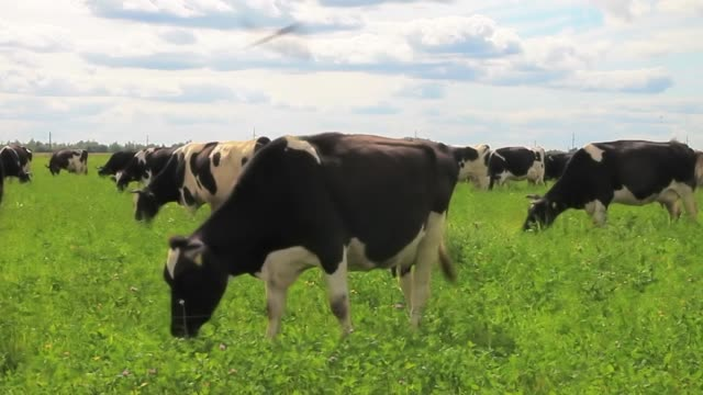 grazing cows in a meadow. the cow eats grass, slowly moves across the field - giovenca video stock e b–roll