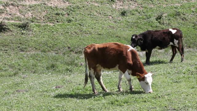 Grazing cows in field video