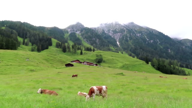 grazing cows in meadow at zillertal valley in tirol austria. - stato federato del tirolo video stock e b–roll