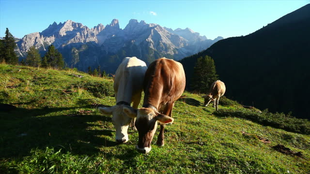 HD Grazing Cows on High Mountain Pasture video