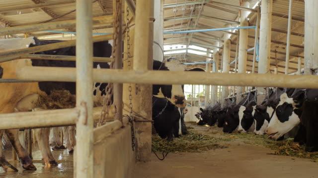 トレーダーの牛 ビデオ