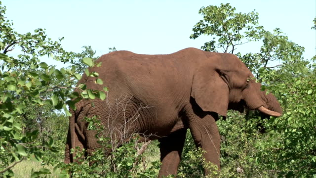 Grazing elephant in the bush Grazing elephant in the bush. South Africa, Kruger National Park. animal whisker stock videos & royalty-free footage