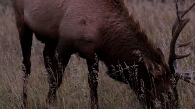 Grazing Elk: Colorado