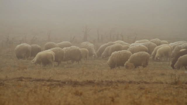 Grazing Herd of Sheep on Dry Autumnal Pasture on the Top of the Hilly Landscape. Shot. Flock Of Sheep Walking On Foggy Field video