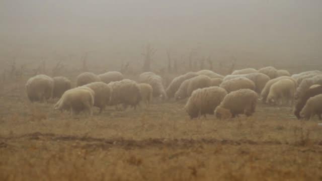 丘陵地帯の頂上に乾燥した秋の牧草地で羊の群れを放牧。ショット。霧の野原を歩く羊の群れ ビデオ