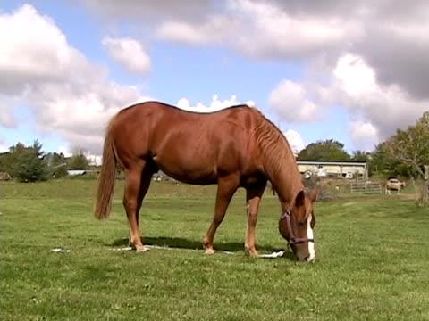 pferd beim grasen  - pferdeartige stock-videos und b-roll-filmmaterial