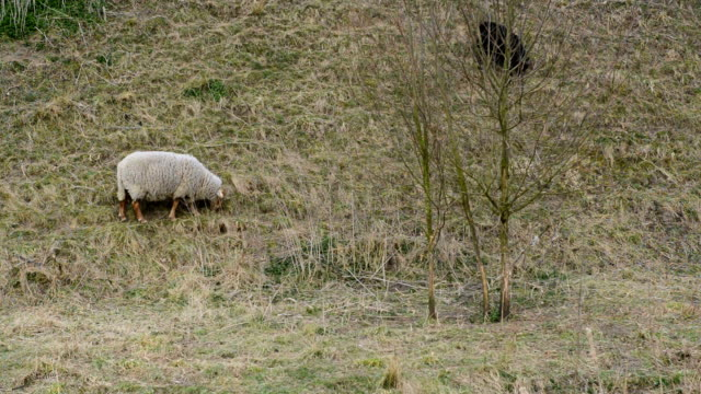 grazing sheep video