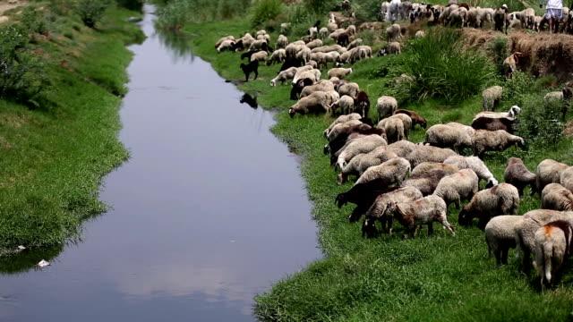 vidéos et rushes de brouter moutons - apprivoisé