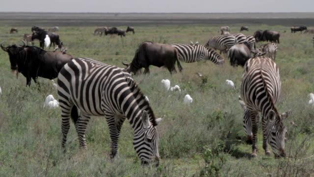 grazing zebras, wildebeests and white birds video