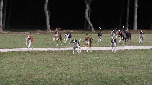 great anglo-french white and black hound with great anglo-french tricolour hound, near saint malo in brittany in france, pack for fox hunting, slow motion - cane addestrato video stock e b–roll