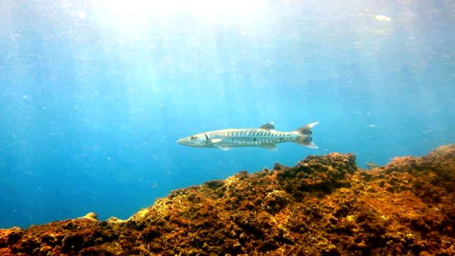 Great Barracuda (Sphyraena barracuda) fish in shallow lagoon, Phi Phi, Thailand. video