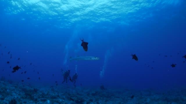 vídeos y material grabado en eventos de stock de pescado gran barracuda - palaos