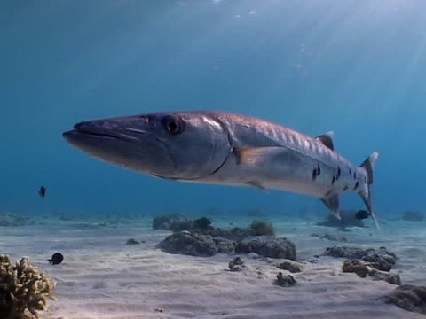 Great Barracuda hovering in shallow water with sun rays video
