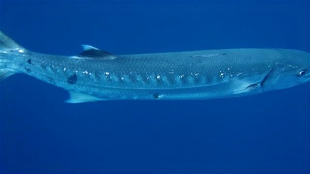 Great barracuda swimming on deep blue ocean video
