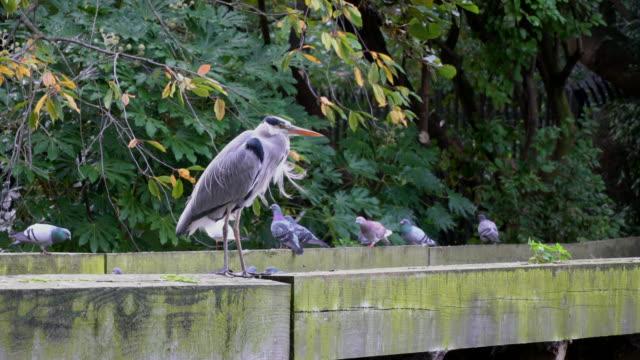 great blue heron bird are standing on the bridge video