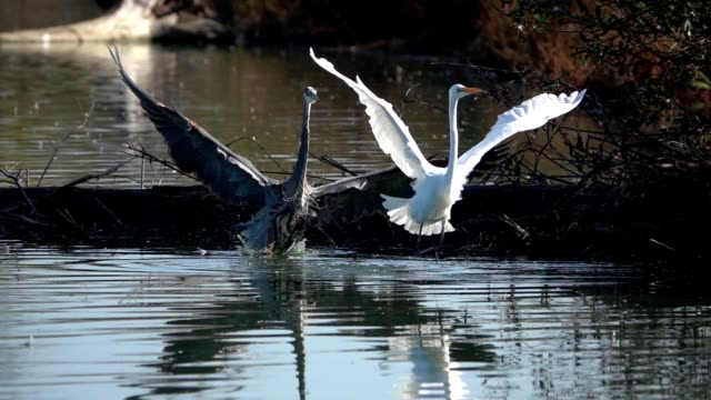 Great blue heron chases great egret away in slow motion video video