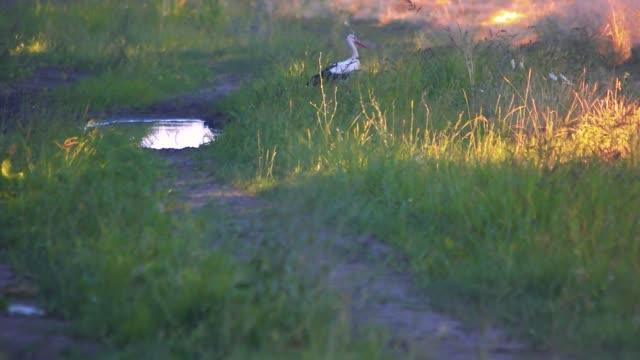 Great blue heron in wetlands.