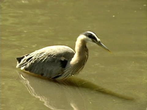airone azzurro maggiore media - uccello acquatico video stock e b–roll