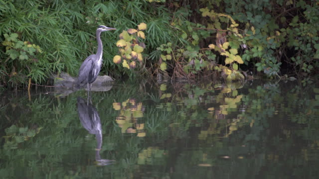 Great Blue Heron Pond Reflection 4K UHD video