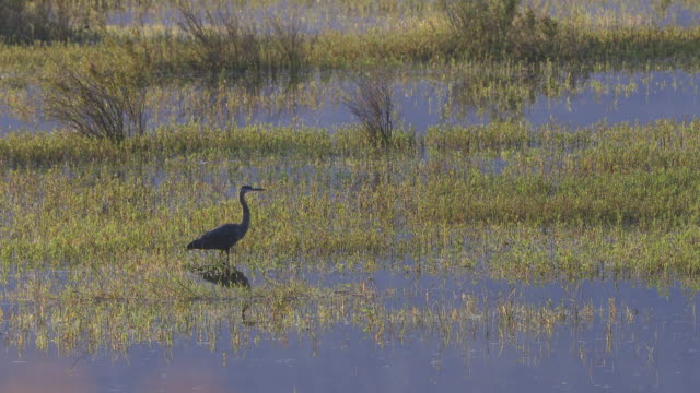 Great blue heron (Ardea herodias) searching for food in the early morning