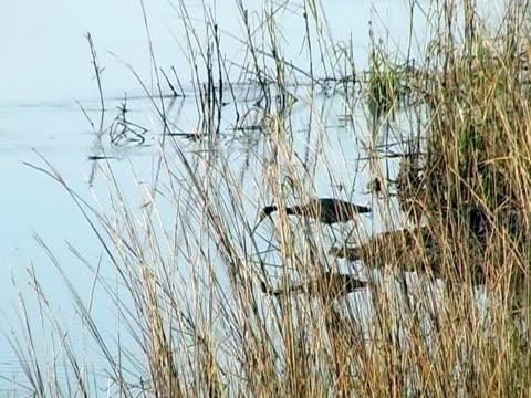 airone azzurro maggiore  - uccello acquatico video stock e b–roll