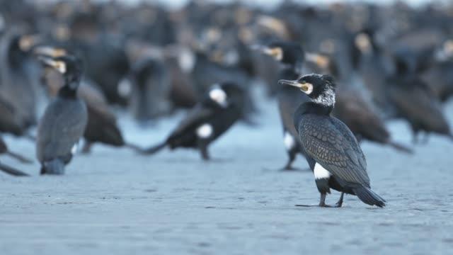 great cormorant - илистая пойма стоковые видео и кадры b-roll