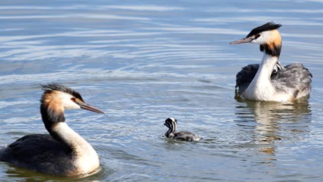 great crested grebe bird - svasso video stock e b–roll