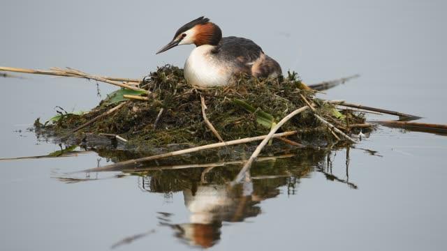 grande svasso crestato (podiceps cristatus) su un nido di nuoto incuba le uova. - svasso video stock e b–roll