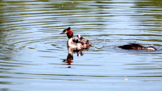 great crested grebe podiceps cristatus great duck and duckling on the lake,parents feed the chicks who sit under the wing on mom's back - svasso video stock e b–roll