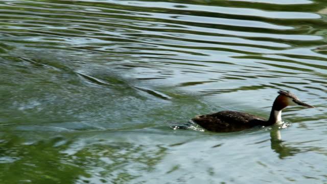 svasso maggiore nuoto e immersioni in un lago - svasso video stock e b–roll
