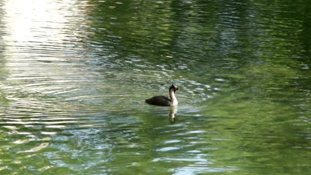 svasso maggiore nuoto e la pesca in un lago - svasso video stock e b–roll