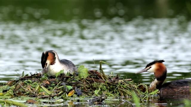 grande svassi crestato (podiceps cristatus) a nido - svasso video stock e b–roll
