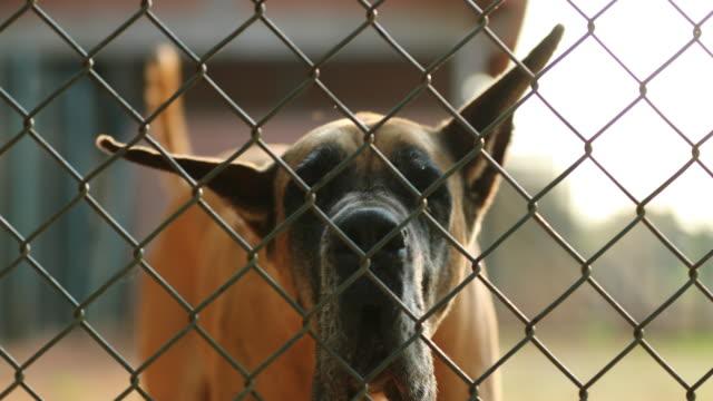 Great dane breed barking behind fences against invaders in 4k video