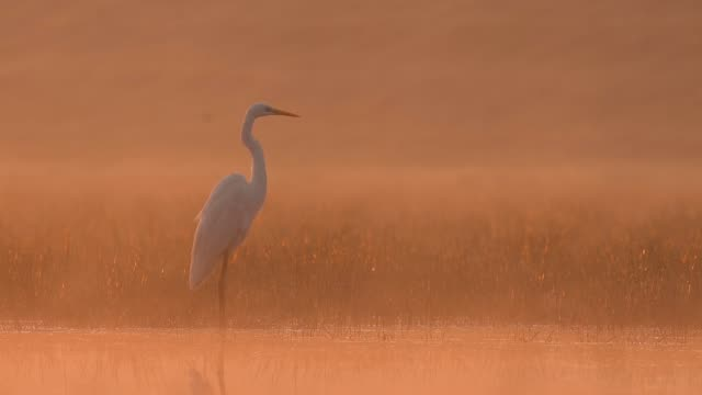 Great egret at sunrise in misty morning Great egret at sunrise in misty morning marsh stock videos & royalty-free footage