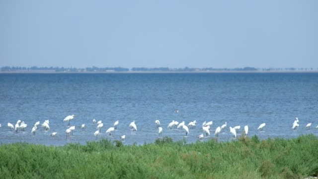 Great egret colony stand in the water and catch a gape fish (Shagany Lagoon, Tuzlovski Lagoons National Park)