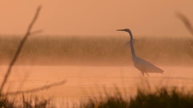 Great egret fishing at sunrise in misty morning