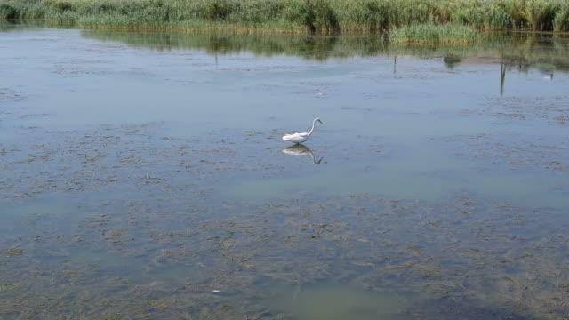 ダイサギ狩猟と水中の獲物をキャッチしよう - こっそり点の映像素材/bロール