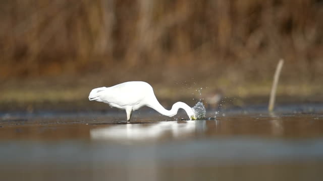 Great egret hunting Great egret hunting  HD video marsh stock videos & royalty-free footage
