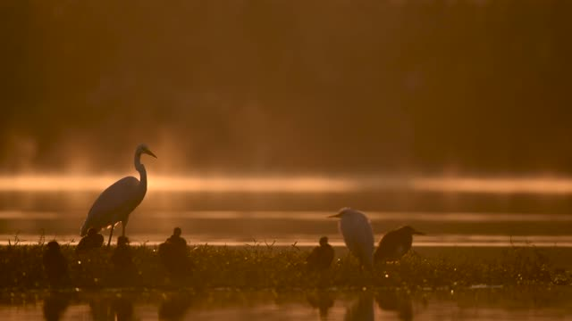 Great egret in misty morning