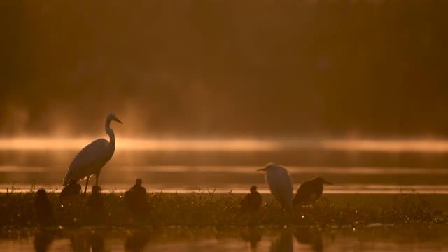 ägretthäger i dimmiga morgon - nationalpark bildbanksvideor och videomaterial från bakom kulisserna