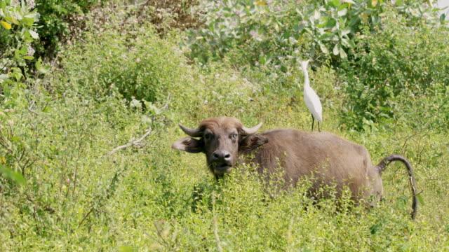 日当たりの良いフィールド、スリランカで水牛の裏に ms 大白鷺立つ - 2匹点の映像素材/bロール