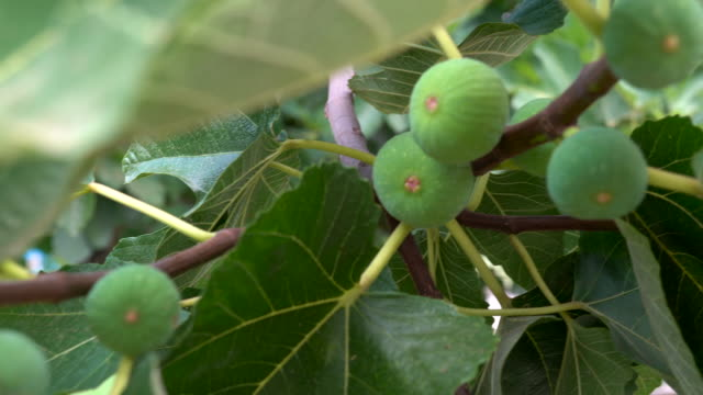 Great fig tree full of fresh green fig fruits. Figs fruits on the tree trunk. Green fruit on the trunk, 4K video shot