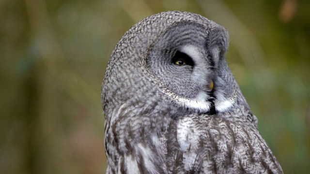 Great grey owl Close up of a Great grey owl owl stock videos & royalty-free footage
