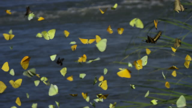 great group of butterflies flying - butterfly stock videos and b-roll footage